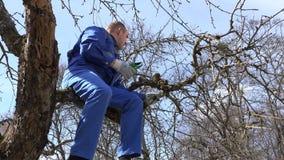 Des Apfel-Baumasts der Mannarbeitskraftschnittpflaume alter Garten im Frühjahr 4K stock video footage