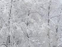 Des arbres de branches sont couverts l'hiver pur frais blanc de neige Photos libres de droits
