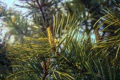 Des arbres de Noël de pattes sont décorés des bourgeons colorés lumineux, une belle forêt impeccable Photos libres de droits