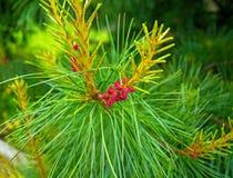 Des arbres de Noël de pattes sont décorés des bourgeons colorés lumineux, une belle forêt impeccable Photographie stock