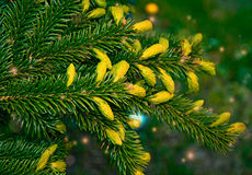 Des arbres de Noël de pattes sont décorés des bourgeons colorés lumineux, une belle forêt impeccable Images stock