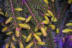 Des arbres de Noël de pattes sont décorés des bourgeons colorés lumineux, une belle forêt impeccable Photo libre de droits