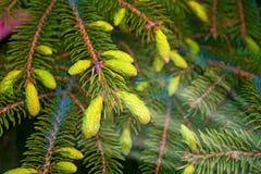 Des arbres de Noël de pattes sont décorés des bourgeons colorés lumineux, une belle forêt impeccable Image libre de droits
