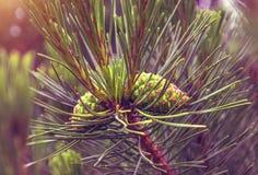Des arbres de Noël de pattes sont décorés des bourgeons colorés lumineux, une belle forêt impeccable Image stock