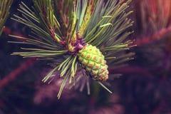 Des arbres de Noël de pattes sont décorés des bourgeons colorés lumineux, une belle forêt impeccable Photographie stock libre de droits