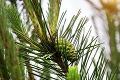 Des arbres de Noël de pattes sont décorés des bourgeons colorés lumineux, une belle forêt impeccable Photo stock