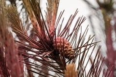 Des arbres de Noël de pattes sont décorés des bourgeons colorés lumineux, une belle forêt impeccable Photos stock