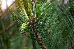 Des arbres de Noël de pattes sont décorés des bourgeons colorés lumineux, une belle forêt impeccable Images libres de droits