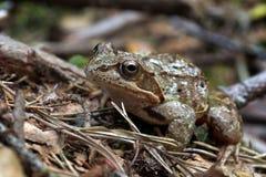 Des arvalis de Rana - amarrez la grenouille photo libre de droits