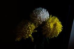 Des asters blancs et jaunes sur un fond noir images stock