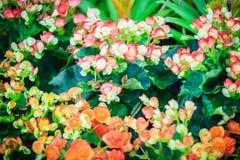 Des bégonias hybrides colorés de Rieger (hiemalis de bégonia X) s'appellent Image stock