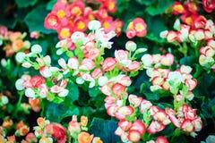 Des bégonias hybrides colorés de Rieger (hiemalis de bégonia X) s'appellent Image libre de droits