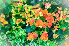 Des bégonias hybrides colorés de Rieger (hiemalis de bégonia X) s'appellent Images libres de droits
