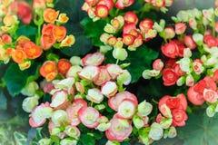 Des bégonias hybrides colorés de Rieger (hiemalis de bégonia X) s'appellent Images stock