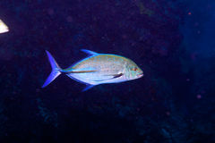 Des Bluefin Fische trevally, der Indische Ozean, Unterwasser Lizenzfreies Stockbild