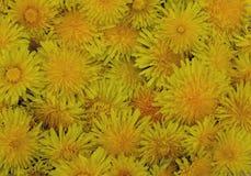 Des Blumenbetriebs-Gelbschönheitsgrünbeschaffenheitsfloragartens des Löwenzahns helles Chrysanthemenlöwenzahnmuster-Feld orange B Stockbilder