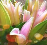 Des Bonbons Rosa lilly lizenzfreies stockbild
