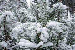 Des branches d'un pin couvert de neige - fermez-vous vers le haut de l'arbre de Noël Images libres de droits