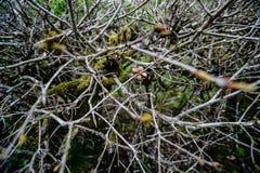 Des branches et les brindilles sont découpées d'un vieux buisson Photographie stock libre de droits