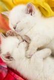 Zwei britische Kätzchen Schlafens Lizenzfreies Stockfoto