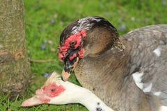 Des canards de Muscovy joignant à un parc local dans le Canada, ceux-ci sont souvent achetés comme canards de ferme Images stock