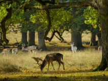 Des cerfs communs dans les bois - se tient de la foule Image libre de droits