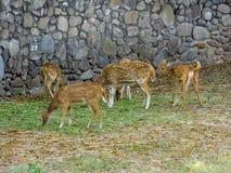 Des cerfs communs de Chital, Cheetal, cerf commun repéré, cerfs communs d'axe - frôlez photos stock