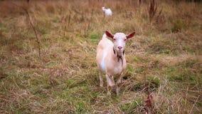 Des chèvres sont frôlées sur un pré en automne banque de vidéos