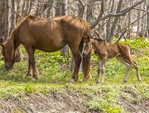 Des chevaux avec un poulain il est frôlé au printemps Images libres de droits