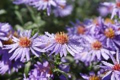 Des chrysanthèmes en retard sont faits à humidité ivre et chauffés par la dernière chaleur photos stock