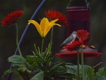 Des colibris comme les fleurs rouges, mais sont aussi bien attirés à d'autres couleurs photo stock