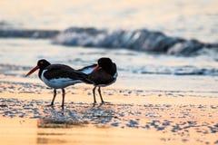 Des couples américains d'huîtrier sont réunis pendant qu'ils foragent sur la plage au lever de soleil dans Cape May, NJ photos stock