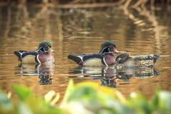 Des couples de canard en bois et un mâle différent Photo stock