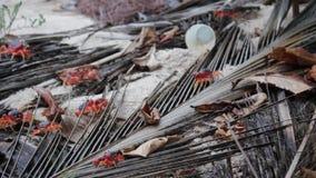Des crabes rouges sur la plage de la Barbade des Caraïbes avec une litière de tasse en plastique derrière - vidéo d'un stock banque de vidéos
