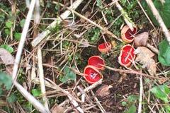 Des Elfen-Schalen-Scharlachrot Pilz-- Sarcoscypha-coccinea Lizenzfreie Stockfotos