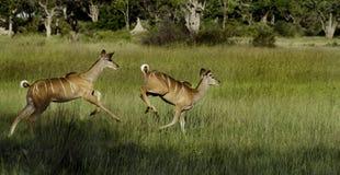 Des femelles plus grandes de kudu exécutant, Okavango photo libre de droits