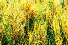 des feuilles d'arc-en-ciel de croton de jardin est souvent développées dans les jardins tropicaux photo stock