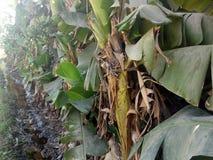 Des feuilles de banane peuvent être utilisées en tant que plateaux naturels de feuille image stock