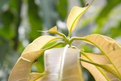 Des feuilles de mangue sont mordues par des charançons de mangue Photo libre de droits
