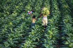 Des feuilles de tabac ont été moissonnées par l'agriculteur photographie stock libre de droits