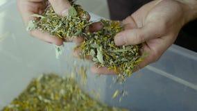 Des feuilles de thé de sélection d'agriculteurs sont produites banque de vidéos