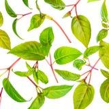 Des feuilles de vert du fuchsia de jeune plante est isolées sur le fond blanc Photo libre de droits