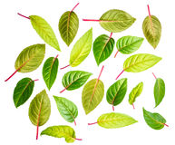 Des feuilles de vert du fuchsia est isolées sur le fond blanc Photos libres de droits