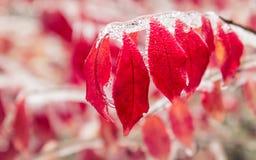 Des feuilles et les branches rouges sont gelées dans de beaux iciles photos libres de droits
