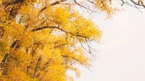 Des feuilles jaunes sont versées des arbres en automne Mouvement lent banque de vidéos