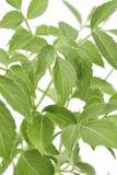 Des feuilles plus anciennes d'usine Image libre de droits