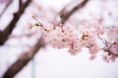 Des fleurs de cerisier au Japon ont appelé Sakura fleurissant sur sa branche au printemps Images libres de droits