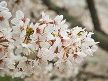 Des fleurs de cerisier sont entièrement fleuries pour faire bon accueil au ressort, qui est saison de touristes du ` s du Japon photographie stock libre de droits