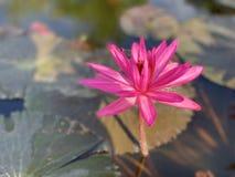 Des fleurs de lotus roses sont employées pour offrir des moines Ou utilisé pour décorer dans un vase image stock