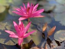 Des fleurs de lotus roses sont employées pour offrir des moines Ou utilisé pour décorer dans un vase image libre de droits